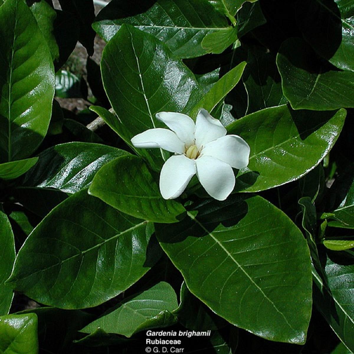 True Hawaiian Gardenia (Gardenia Brighami) - Nanu or Na'u