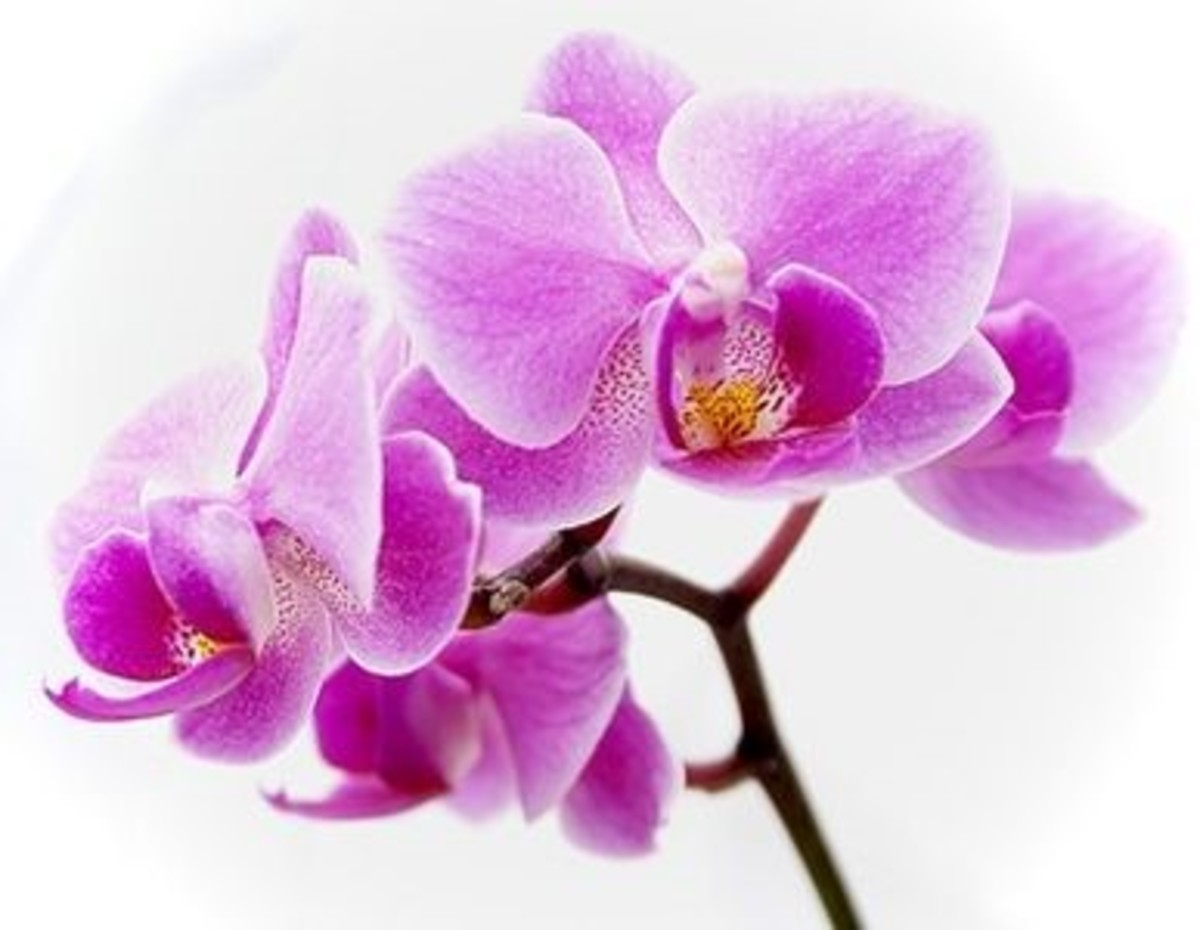 Hawaiian Orchid