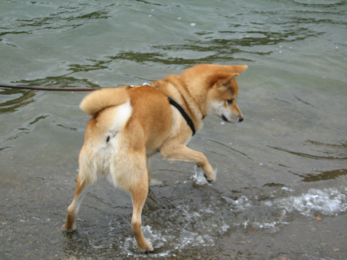 Not Cesar Millan's way - Shiba Inu Sephy having fun in the lake while on a loose leash.