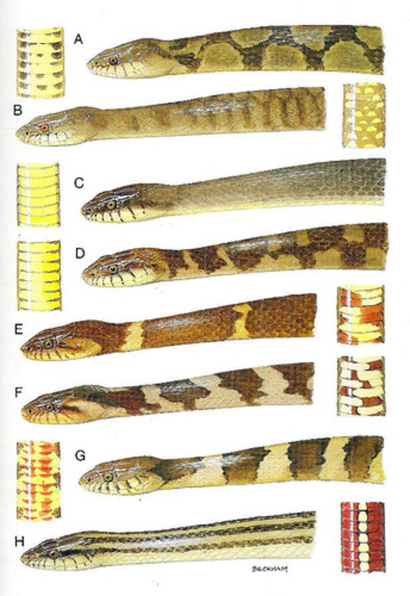 broad-banded-watersnake-louisiana