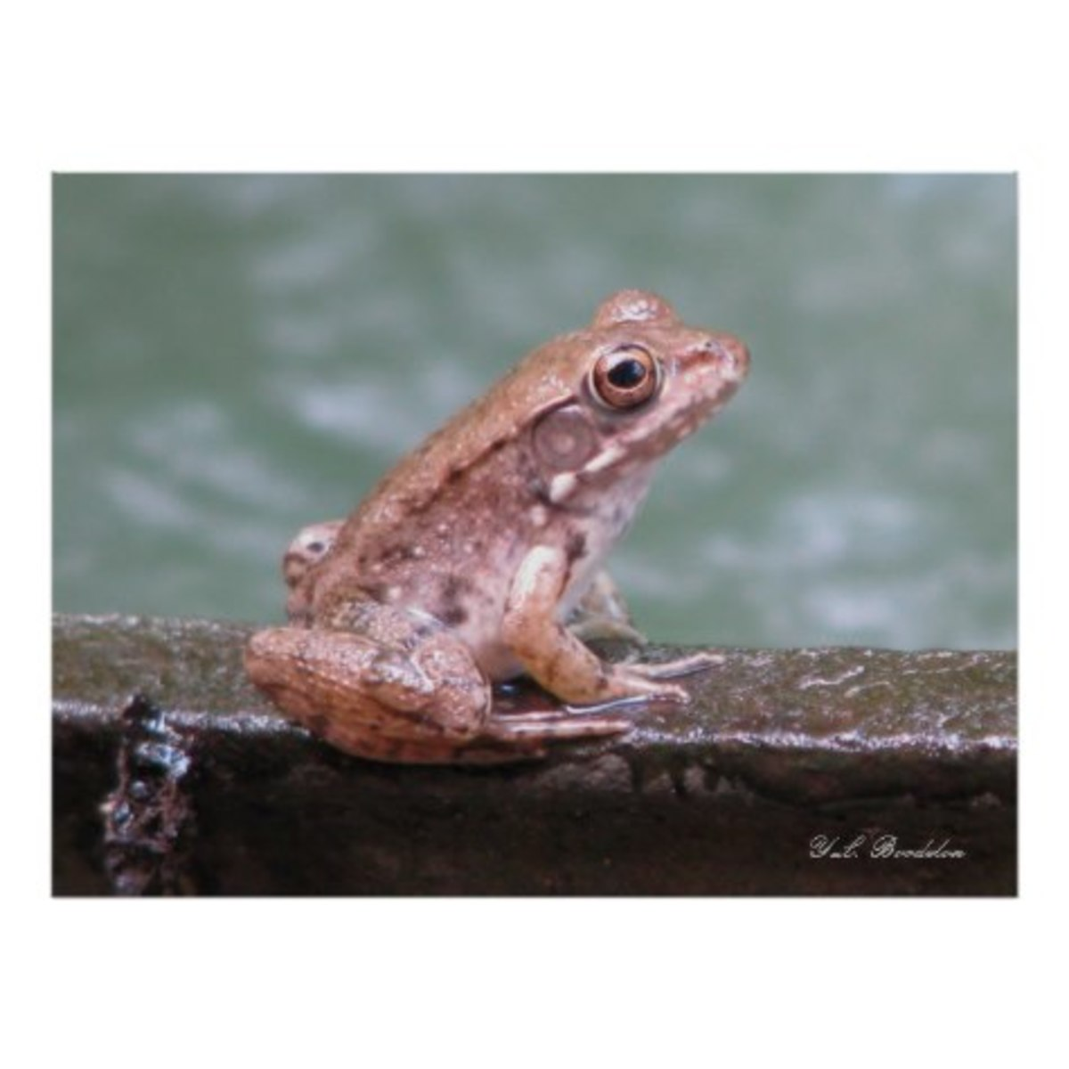 Frogs such as this young bronze are a favorite prey of water snakes.