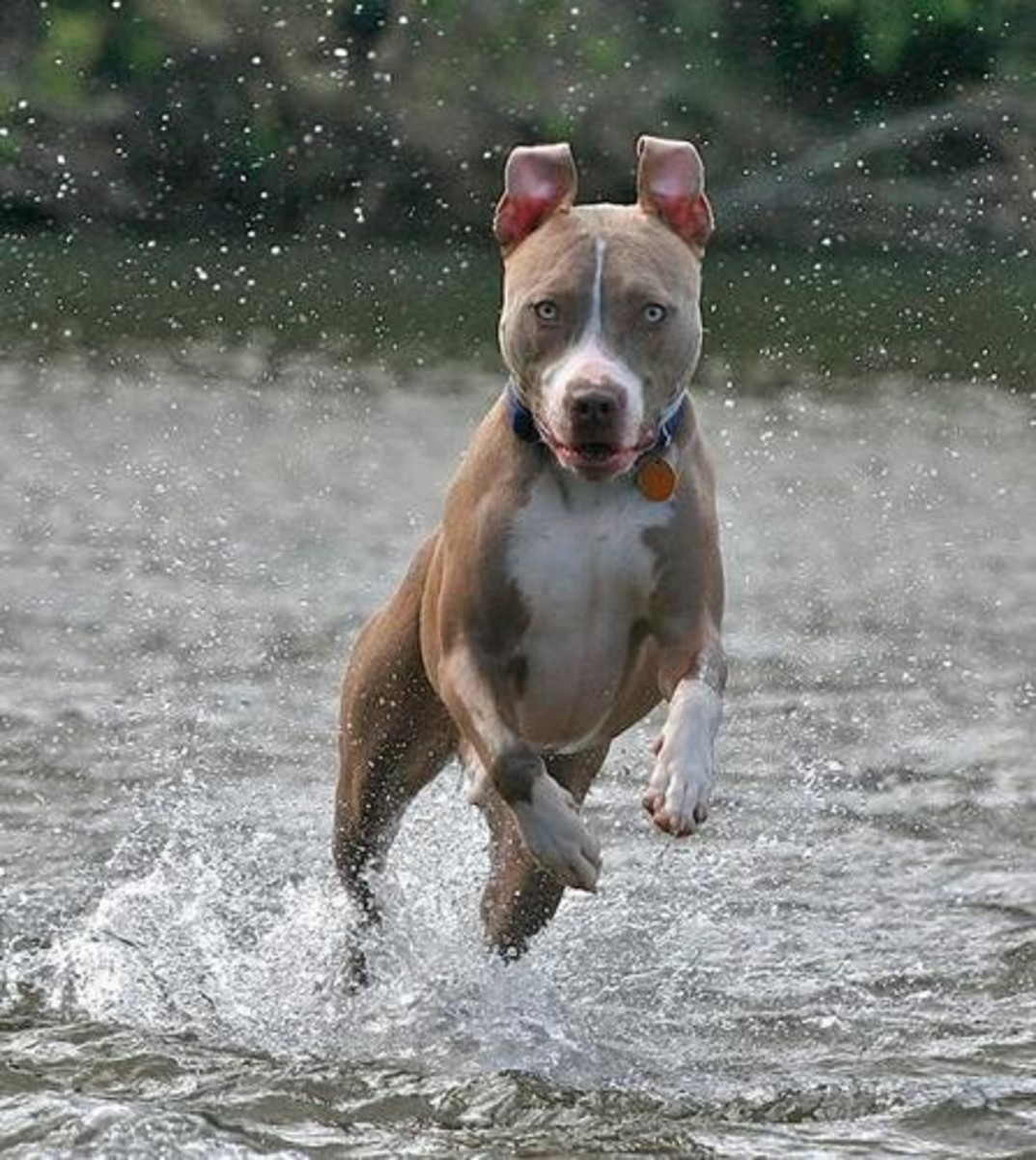 Pit Bulls : Dog Sports All Stars