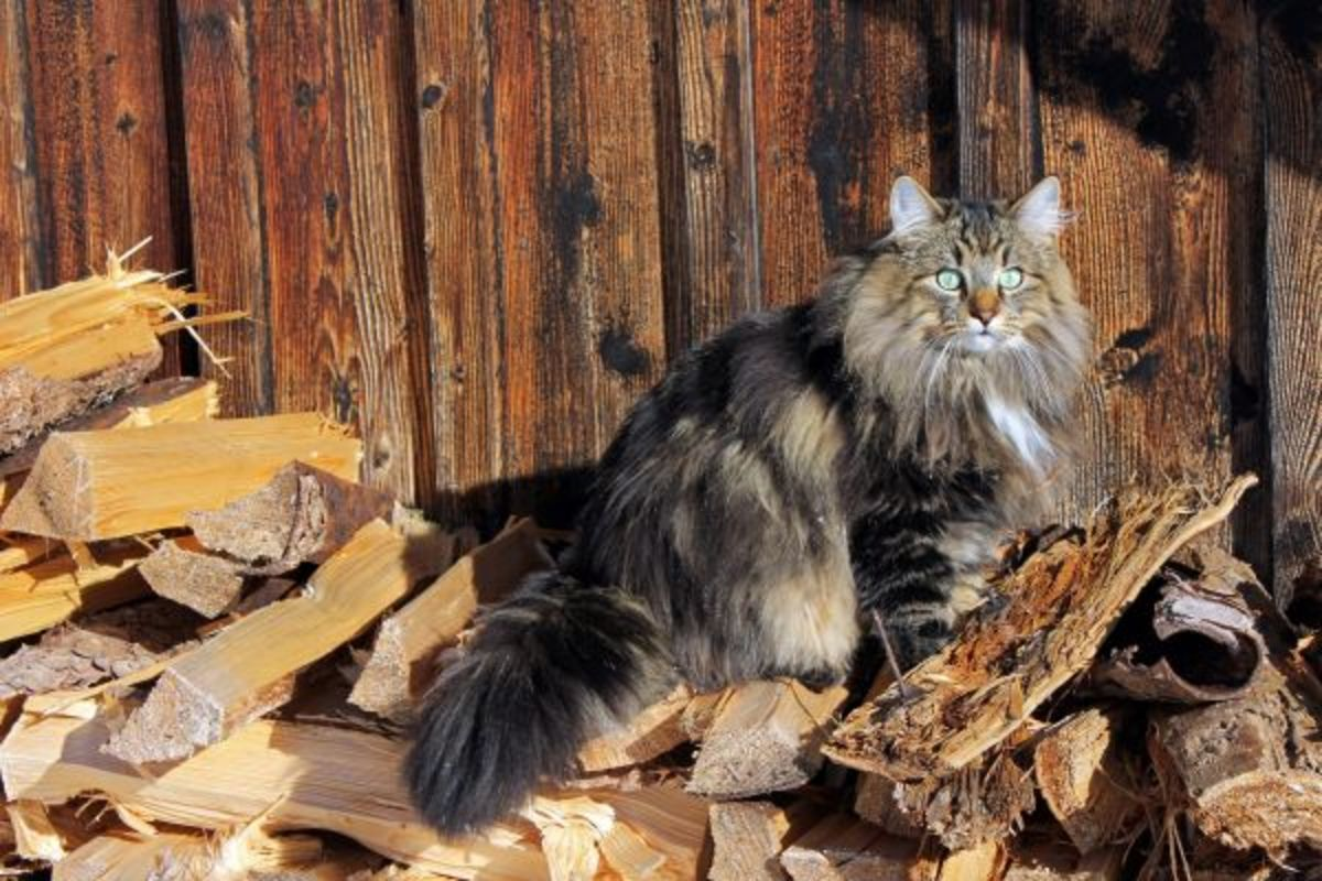 Norwegian Forest Cat waiting in the woodpile