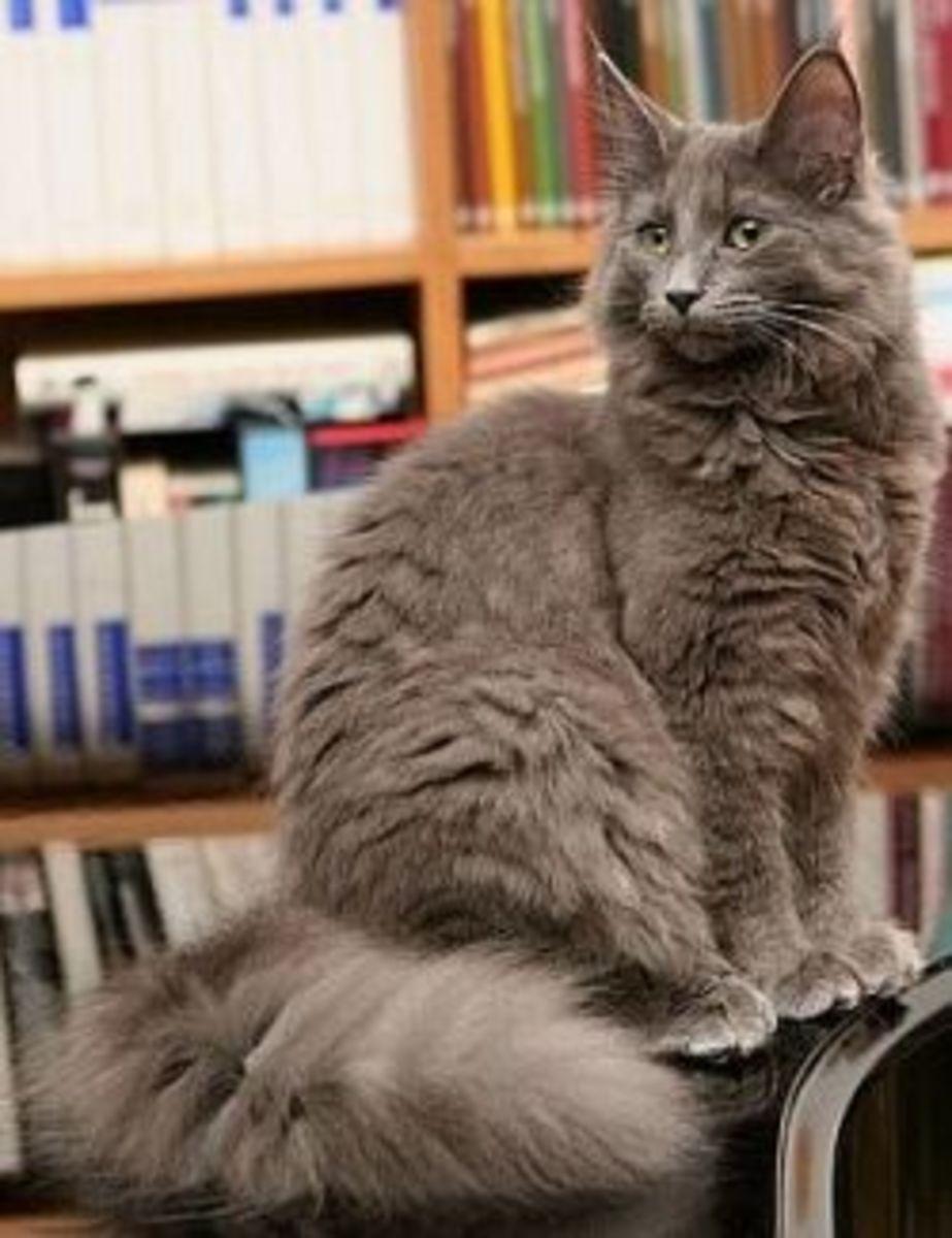 Plush coat on a Norwegian Forest Cat