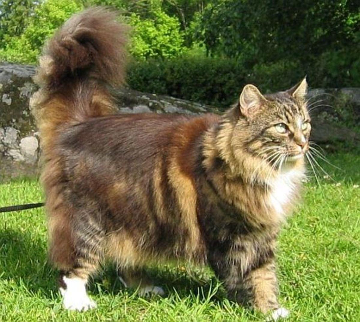 Handsome Norwegian Forest Cat