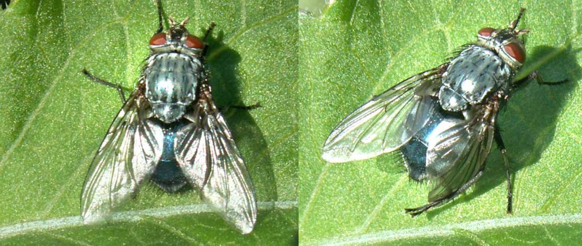 The very common bluebottle housefly doesn't usually bite, but some people swear they are 'food-for-flies'.