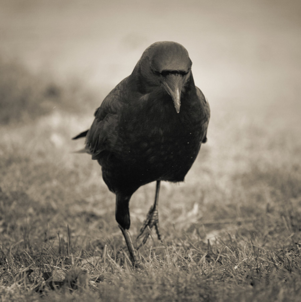 Story the Crow