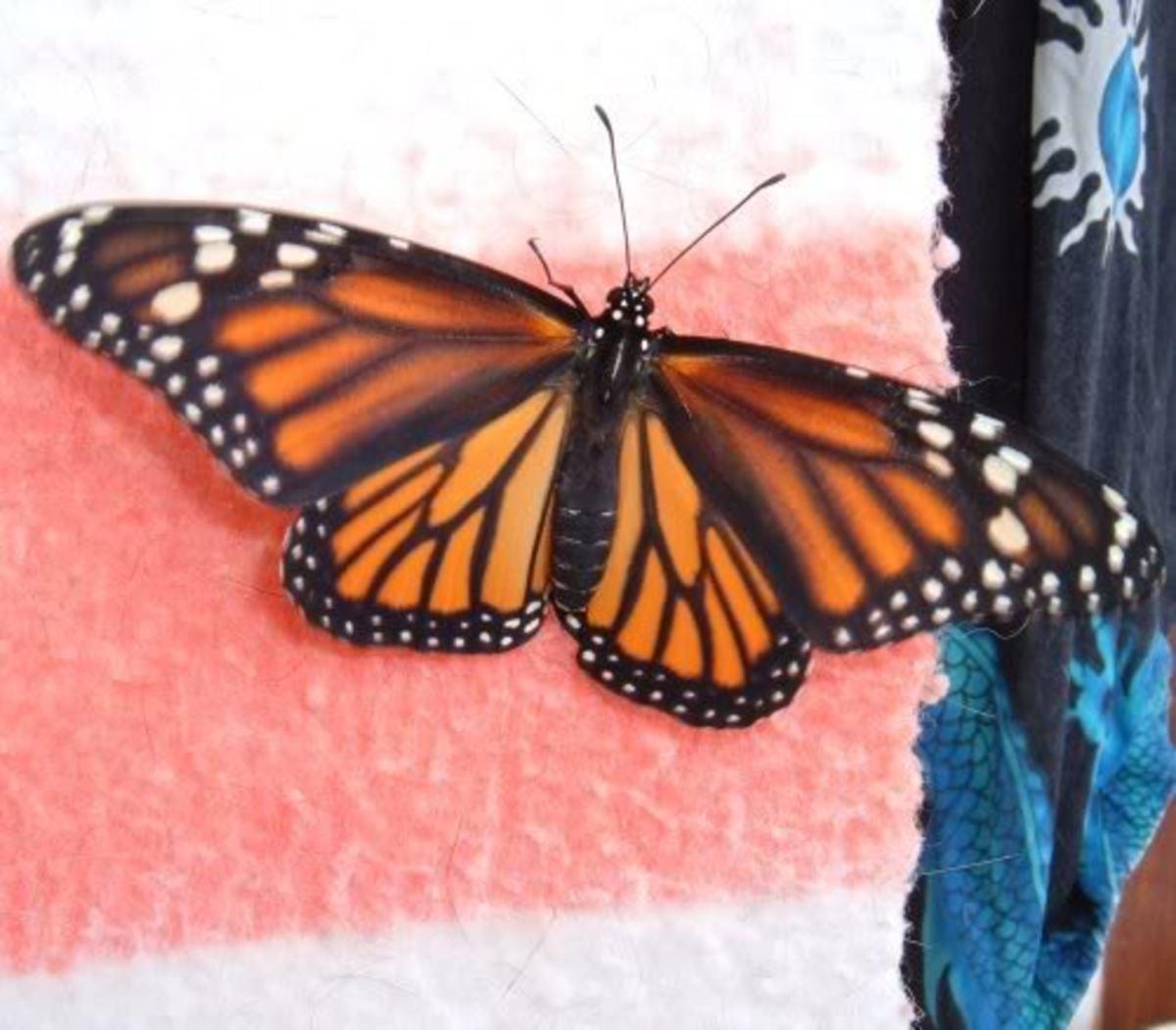 Monarch adult female