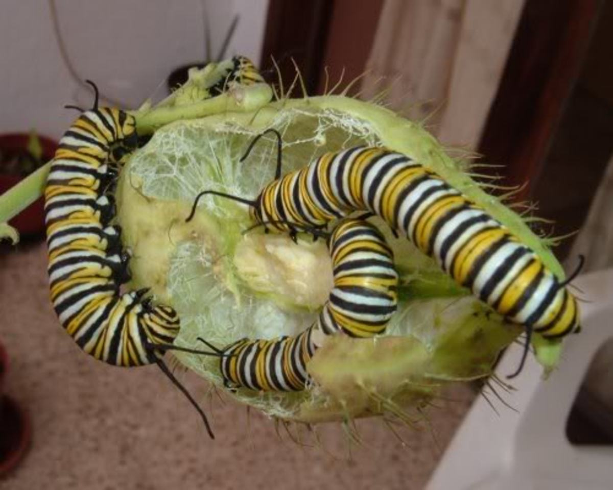 Monarch caterpillars on Swan Plant seed pod