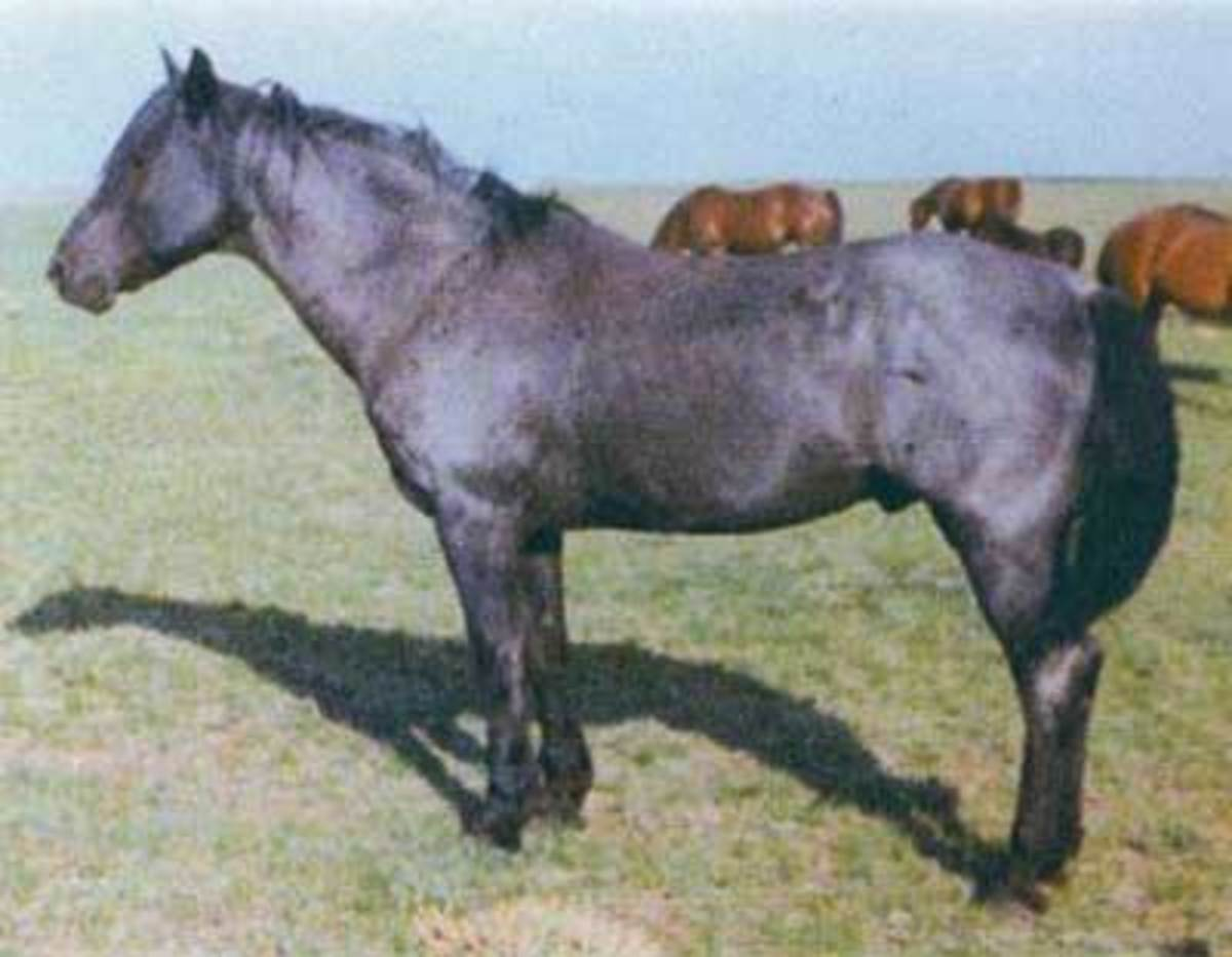 Blue Valentine, one of the most famous roan ranch horses is a blue roan.  His base coat color is black E_ and he does not carry the agouti gene because he is pure black.  He also carried the roan gene=R which mixed white hairs with his black hairs an