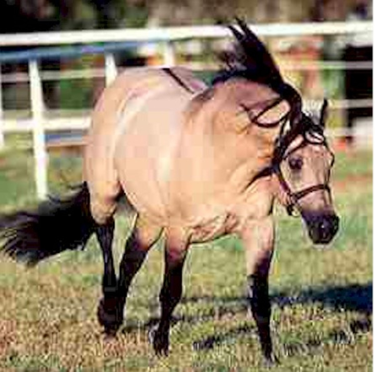Hollywood Dun It was a dun AQHA stallion.  His base coat was black E_ and he carried agouti A_ (the line after the first letter indicates we do not know for sure the second gene in the pair) and he also carried one dun factor gene=DN as well as a cre