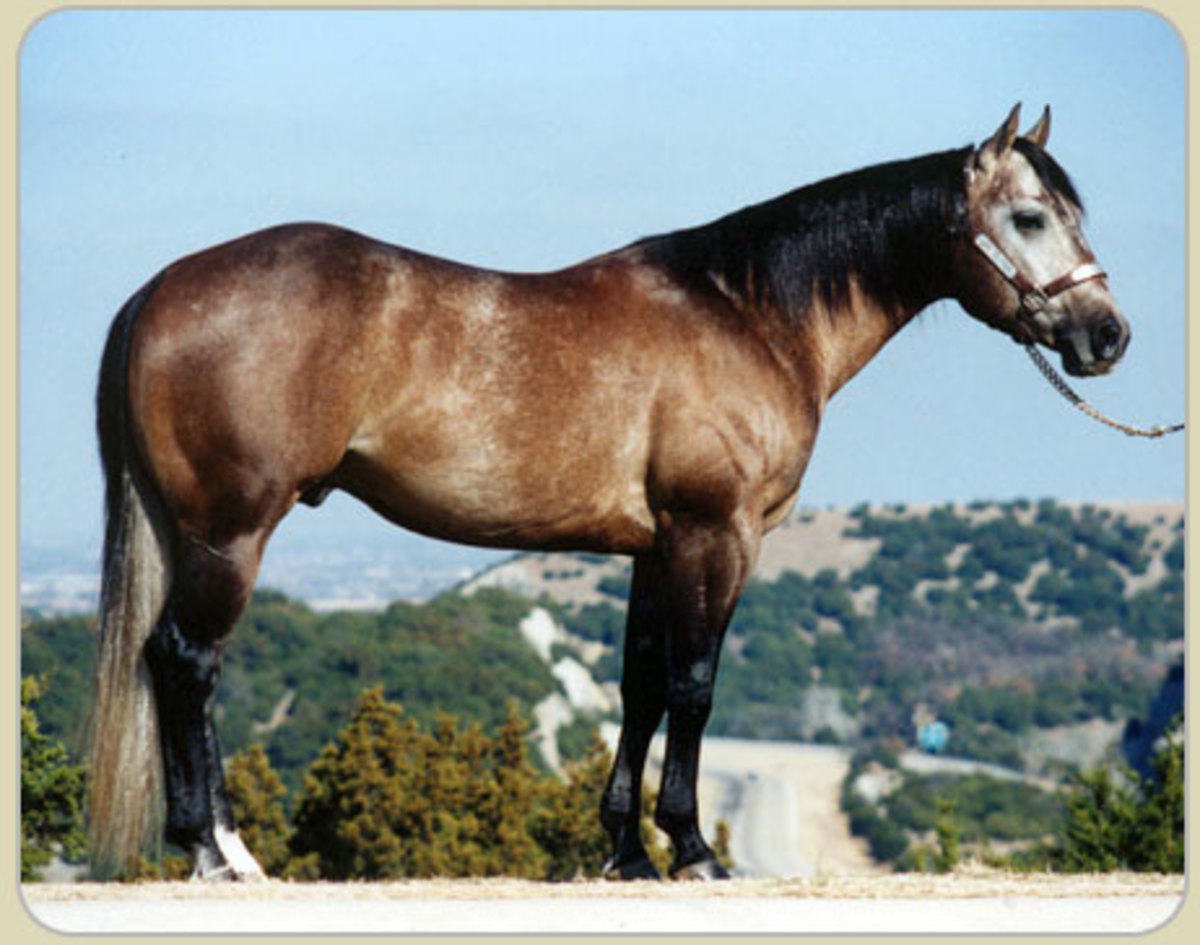 This is the phenomenal performance stallion, Playgun.  He is a grey and his base coat color has been modified enough that it is hard to determine if he was black base or red base but it looks to me as though he was a bay.  This is a mid-stage greying