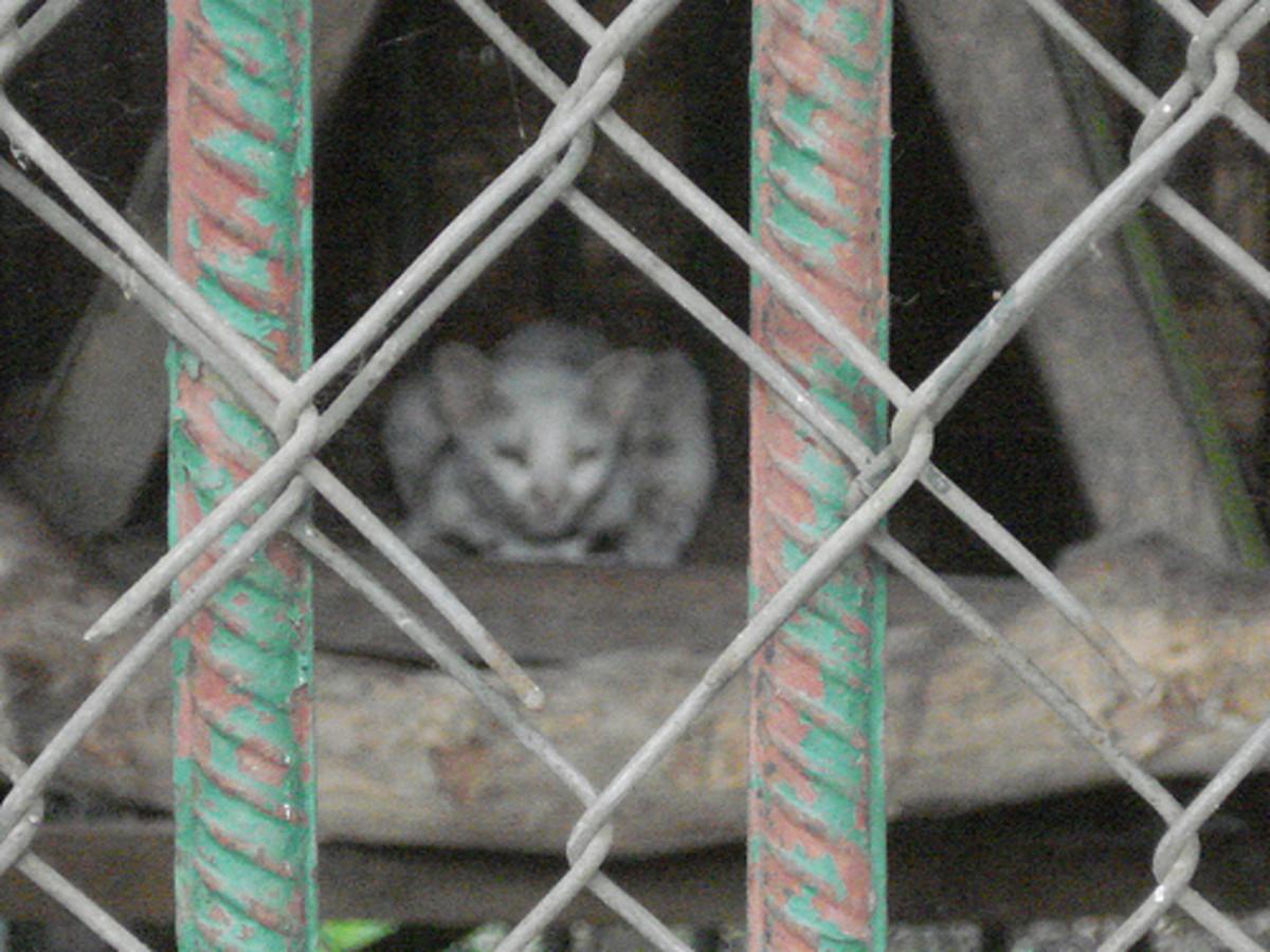 White Leopard Cat