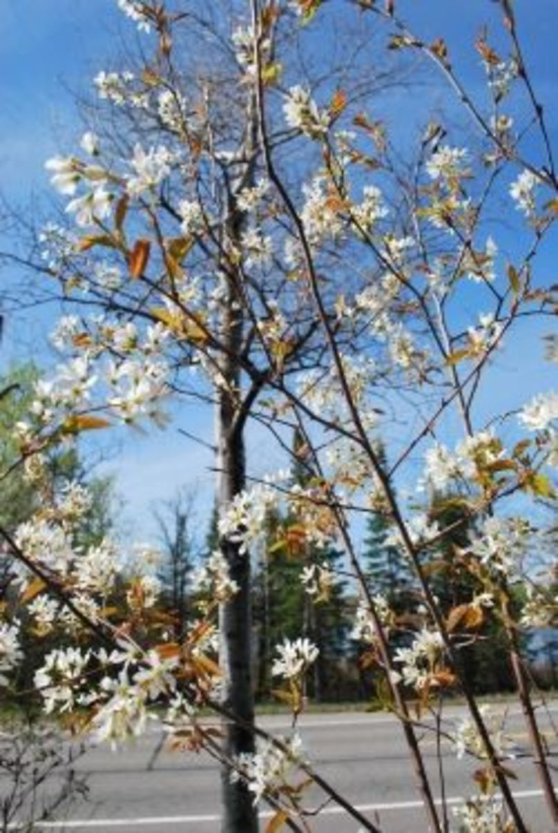spring flowers near Rainy Lake, International Falls, Minnesota