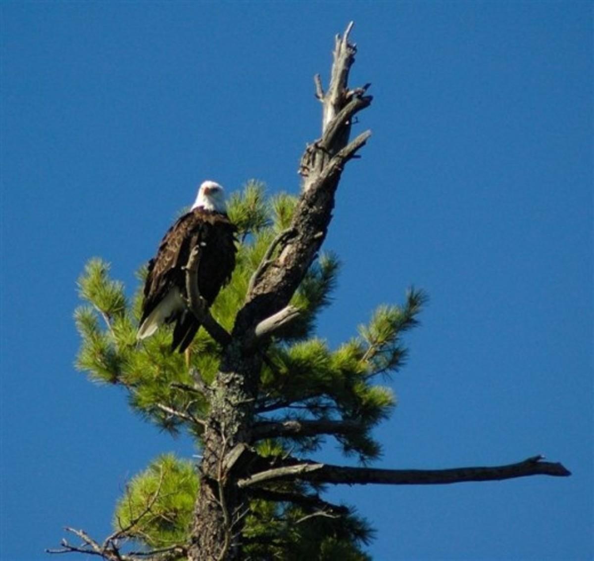 Eagle photo courtesy of Voyageurs National Park