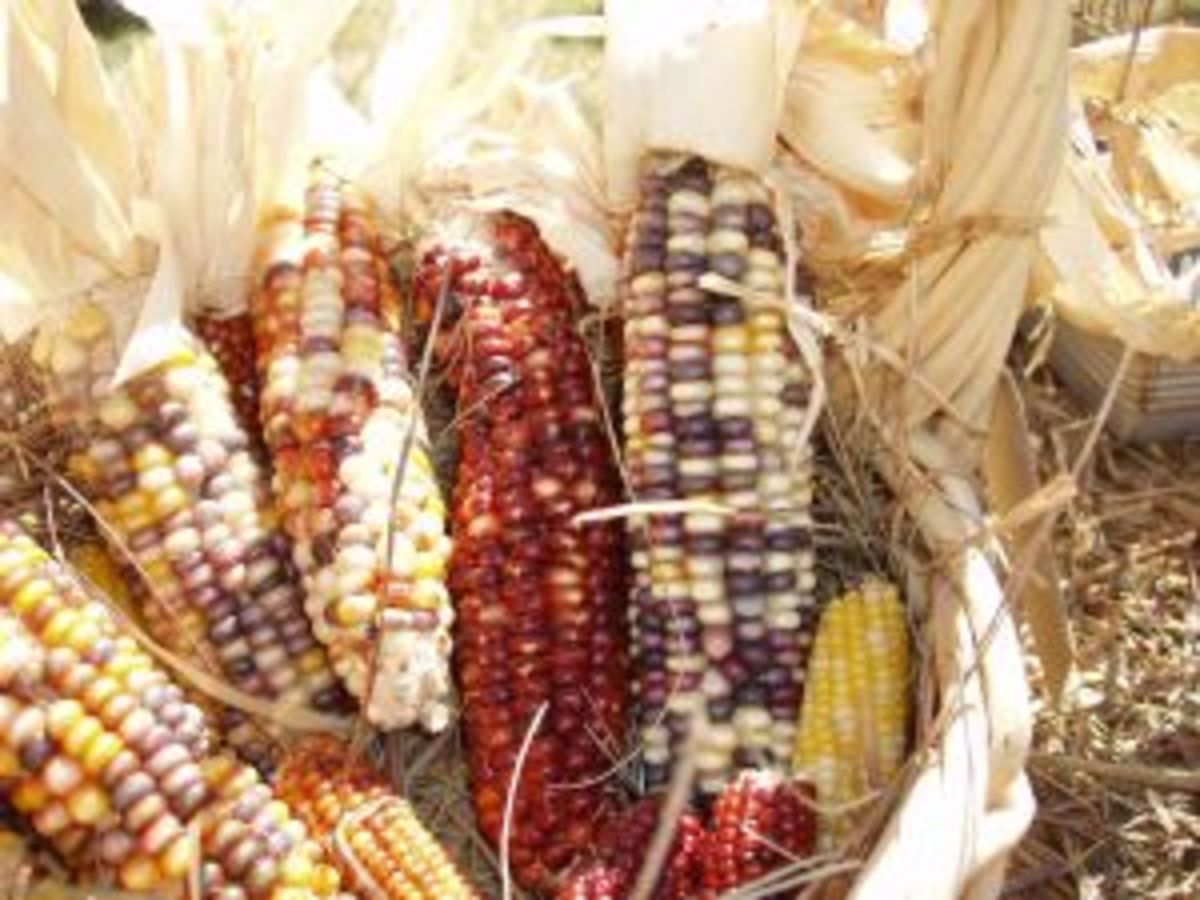 Colorful Thanksgiving Corn
