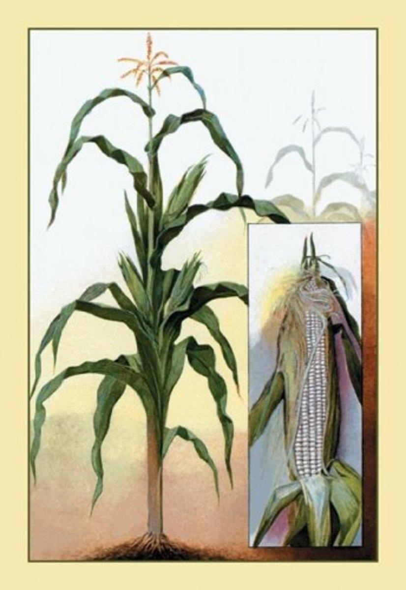 Sweet Corn Print