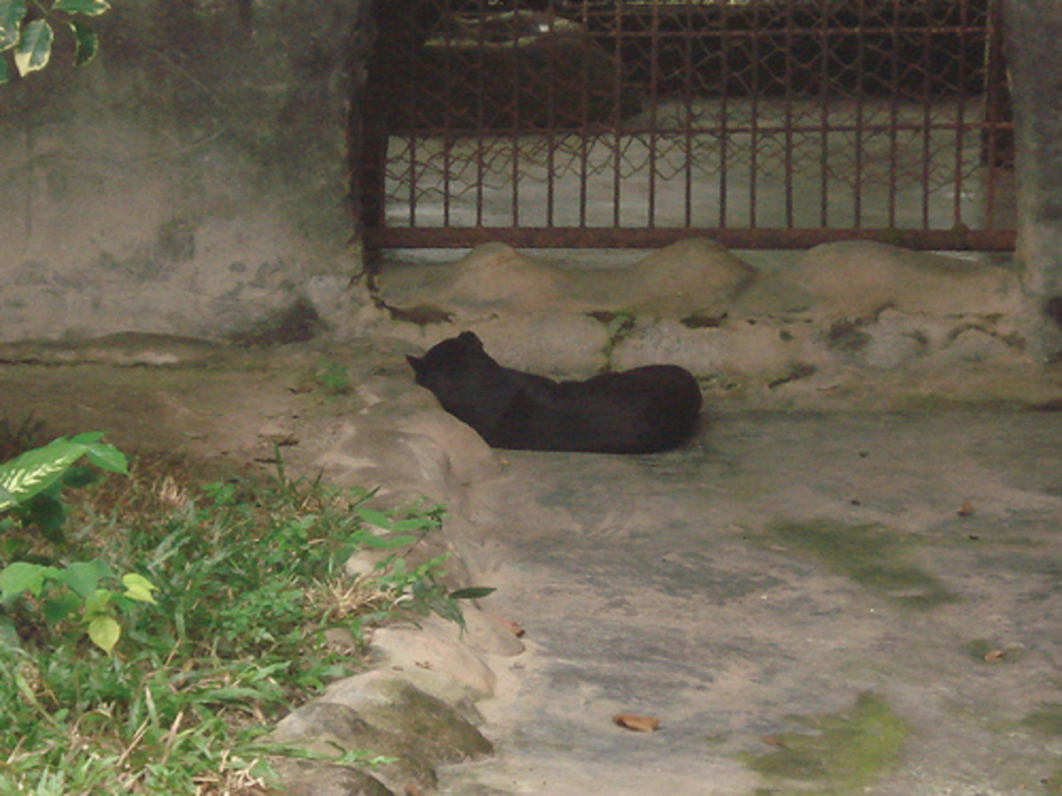 Melanistic Golden Cat - Or was it? It never moved during my visit.