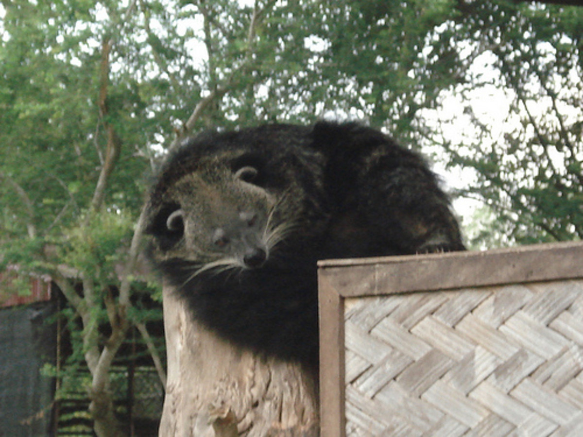 One of several Binturongs dotted around the collection