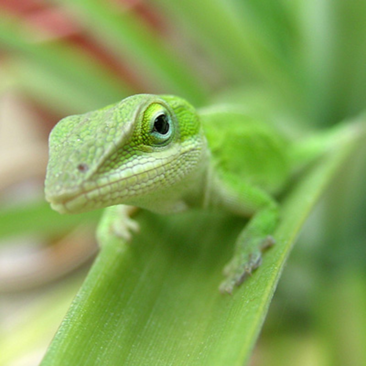 Keeping Green Anoles As Pets