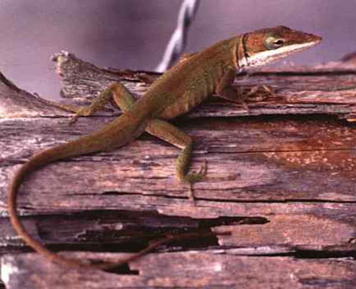 A Green Anole that has turned brown to match its back ground.