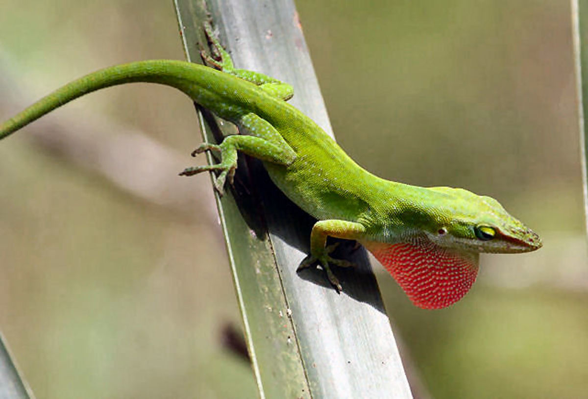 Here is a beautiful specimen of a Green Male Anole