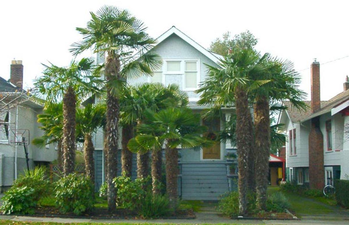 Winter-ready palm trees