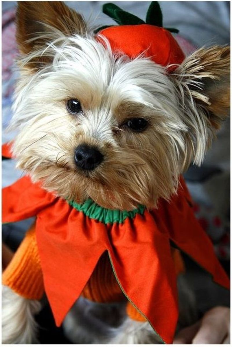 Cute Diy Dog Costumes: Halloween Fancy Dress For Dogs