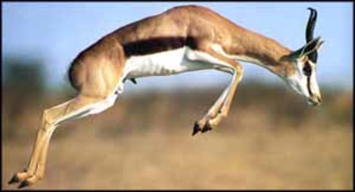 Springbok jumping. Photo by Magnus Manske via Wikipedia