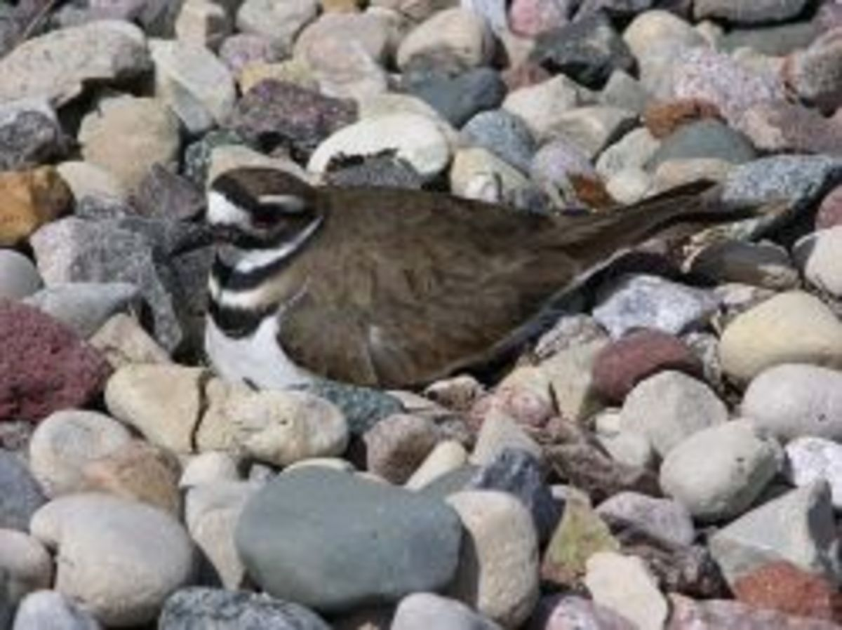 Killdeer nesting in an office parking lot