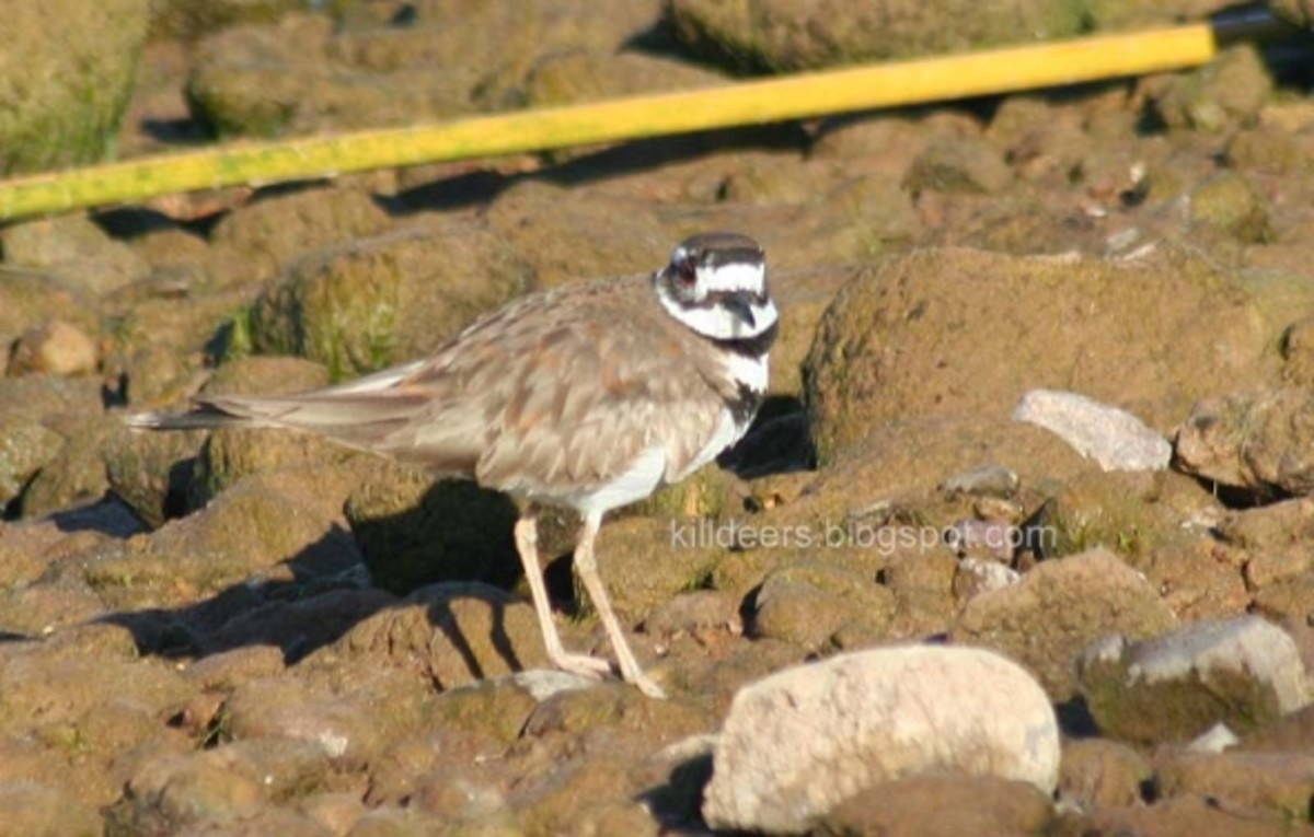 George Killdeer III