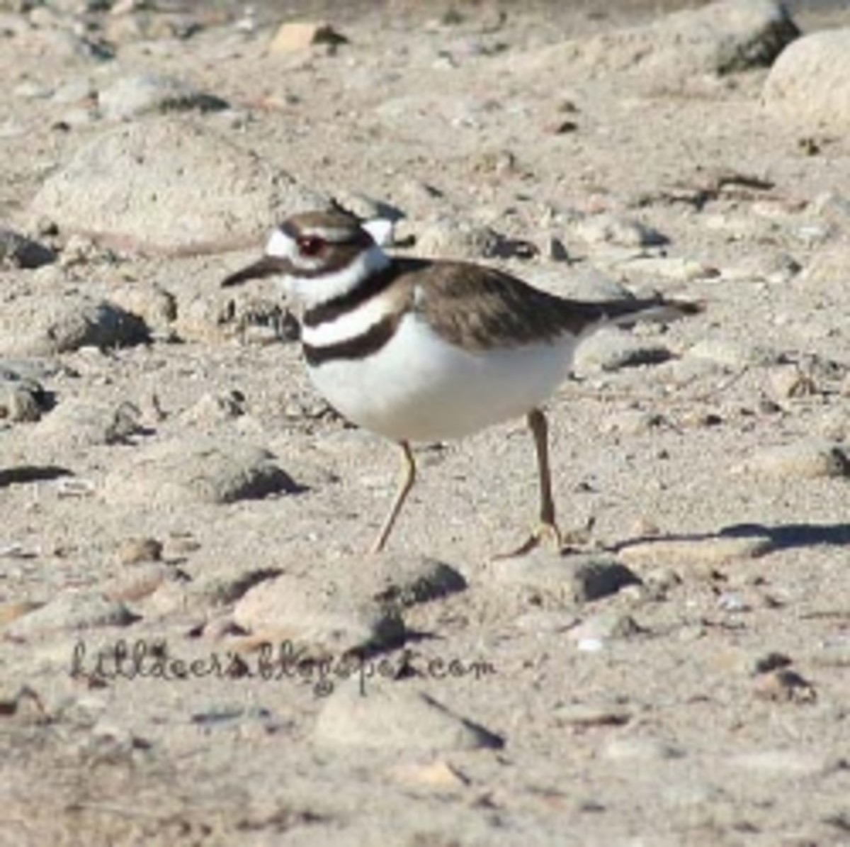 Killdeers, the Two Ringed Plover