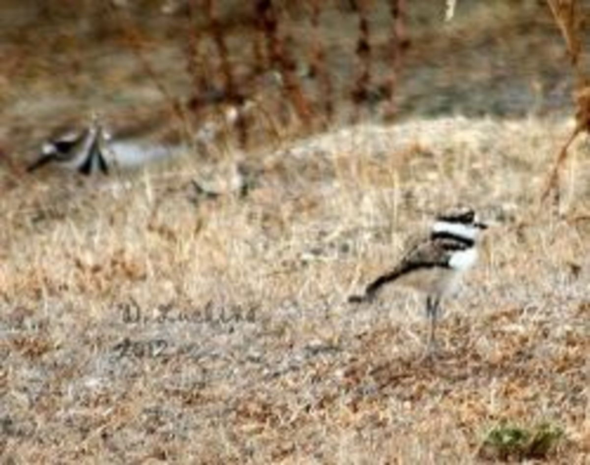 Little Miracle, the killdeer chick and her mom