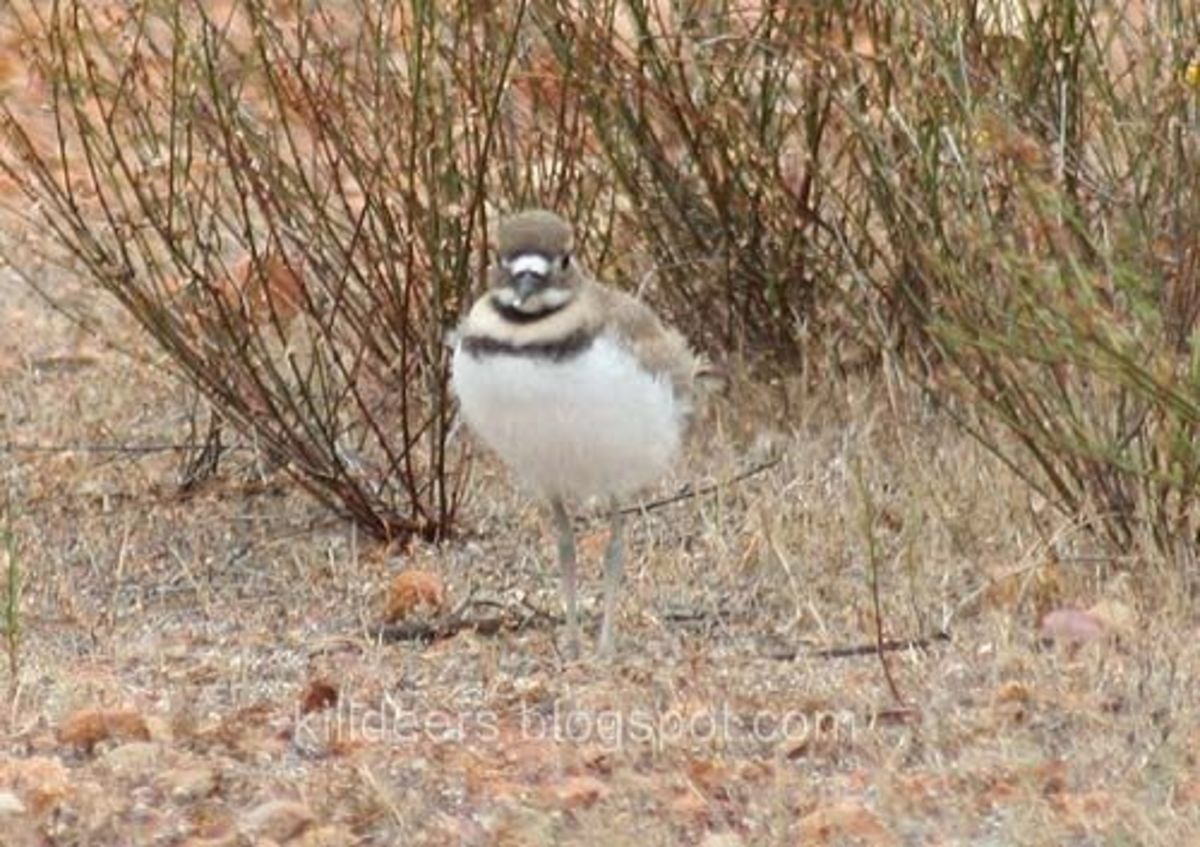 Smudge, a month old killdeer chick.