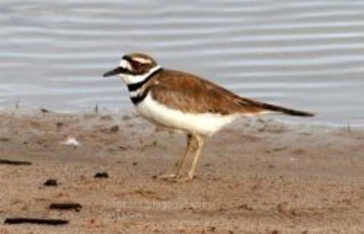 Beautiful male killdeer