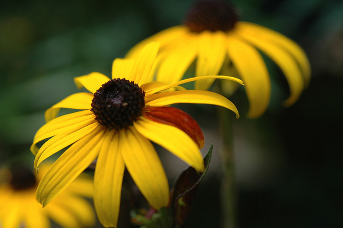 Black eyed susan is a popular native wildflower that tolerates drought well. Photo by cygnus921.