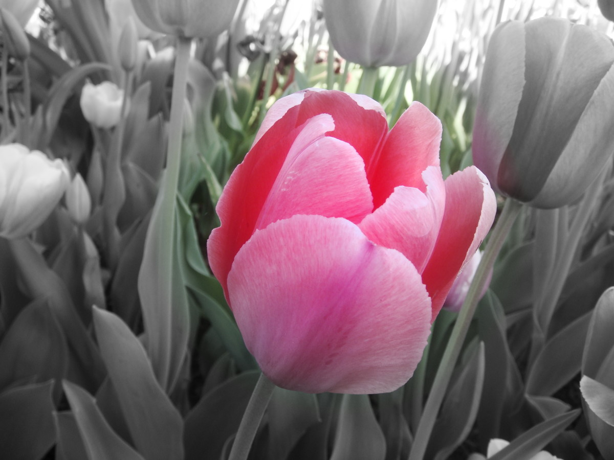 I wanted to highlight the vibrant pink color of the tulip, hence I made the rest of the frame B & W