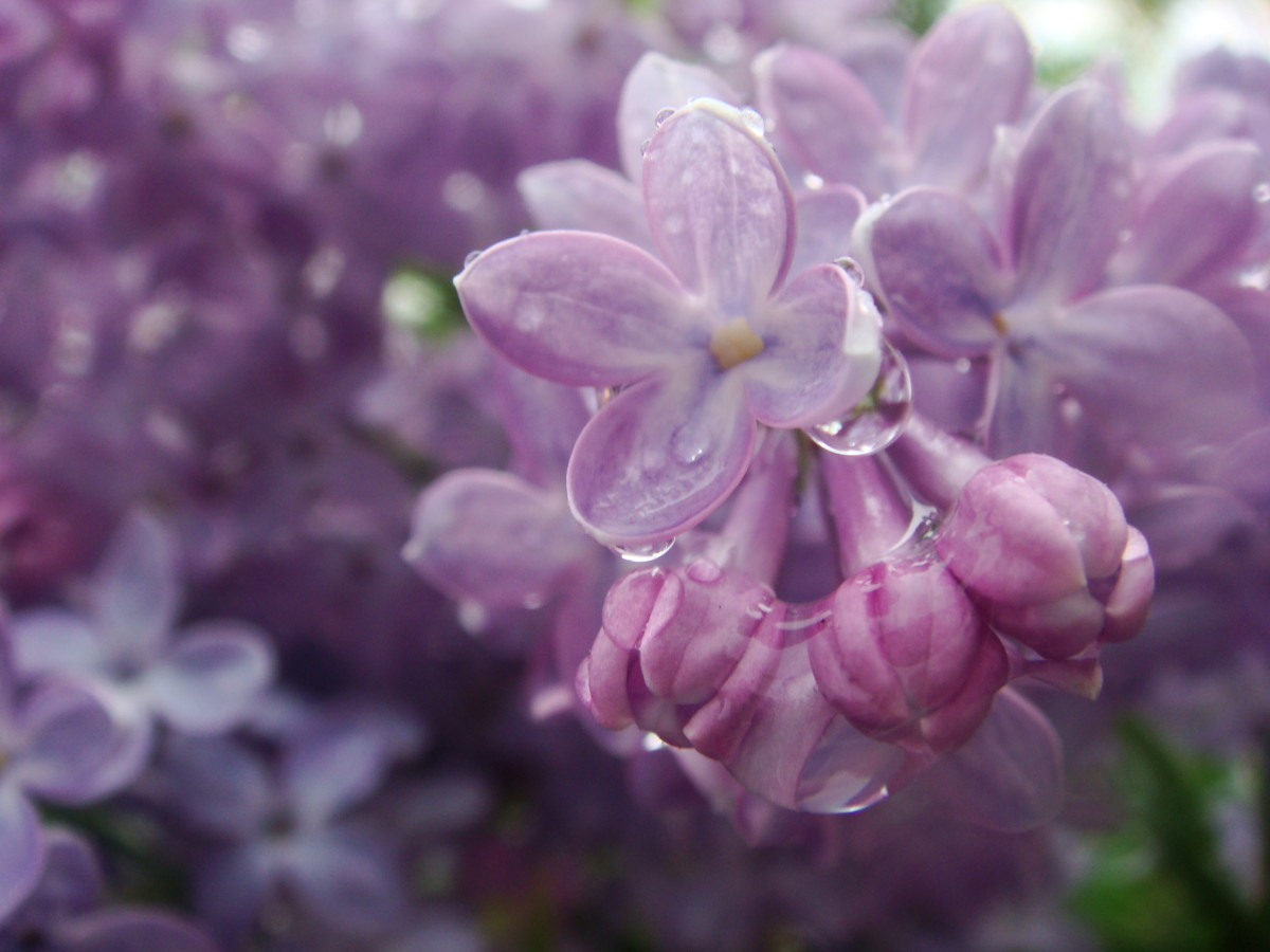 Water droplets on a Lilac
