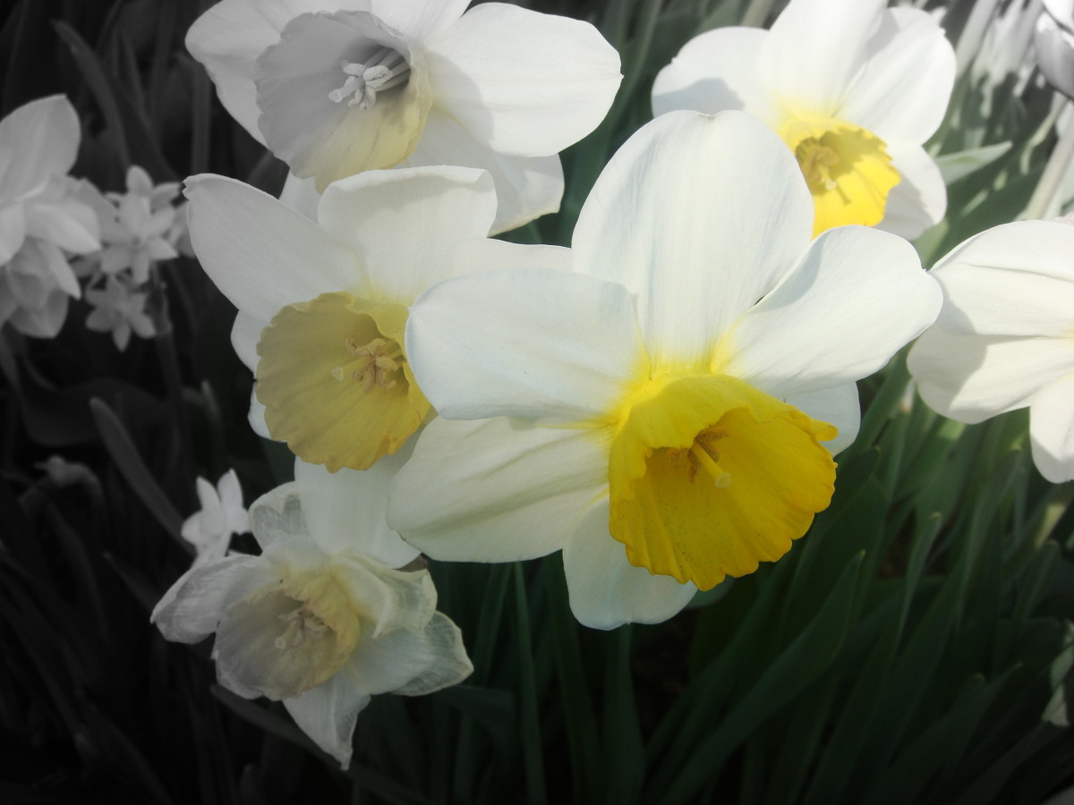 The contrast between the yellow and the white of the daffodils