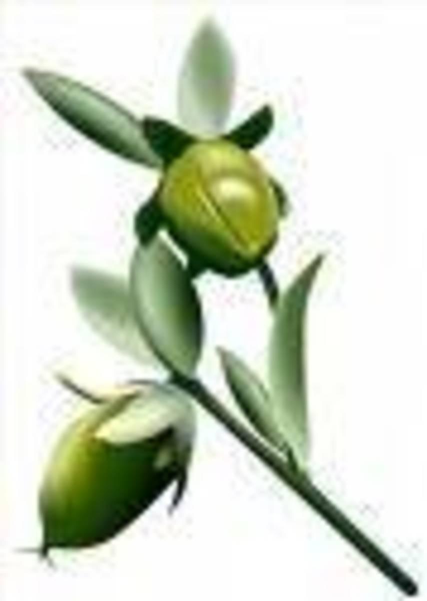 Natural jojoba bean on of the best beauty oils in skincare
