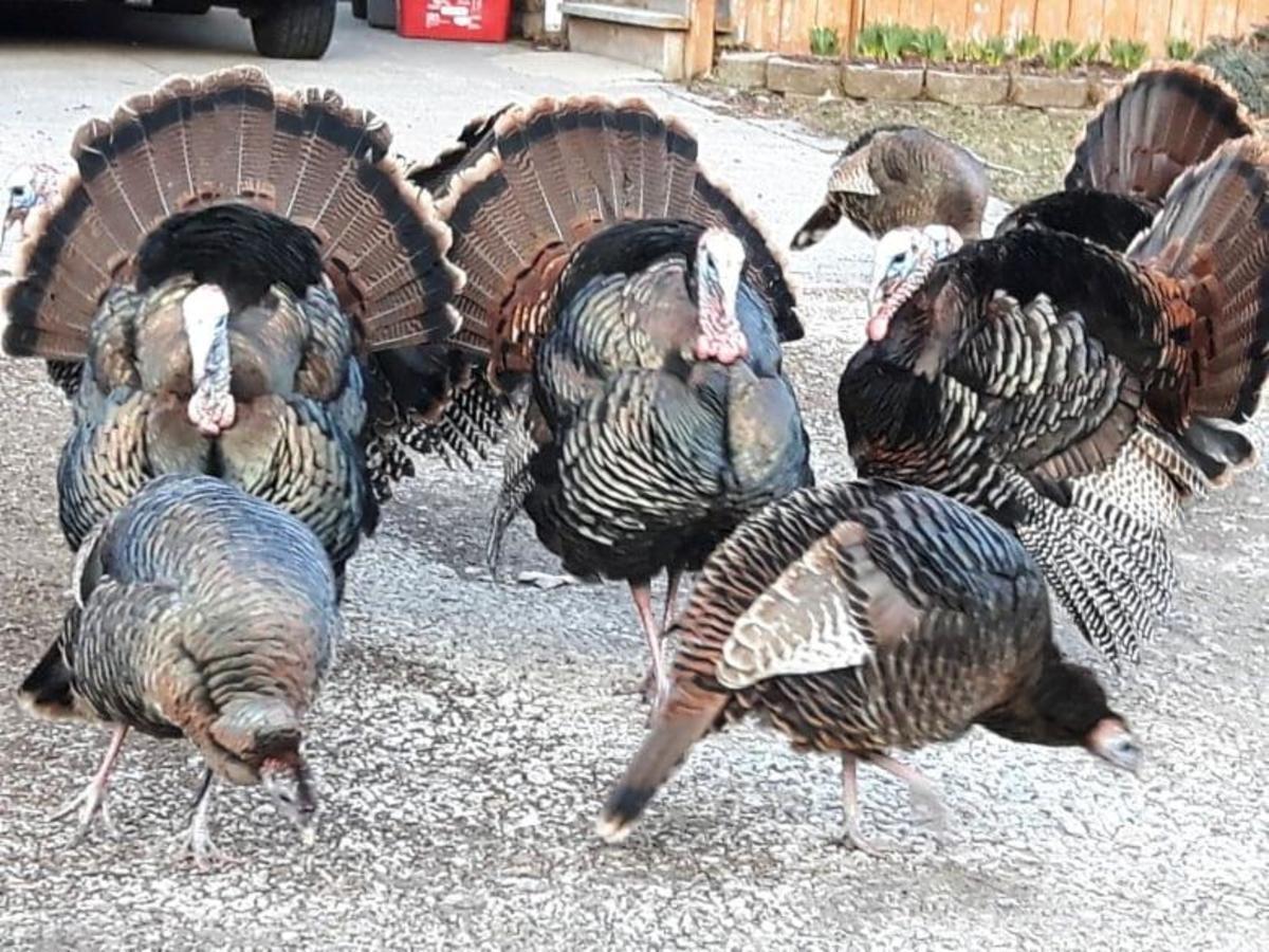 Wild Turkeys on the Run