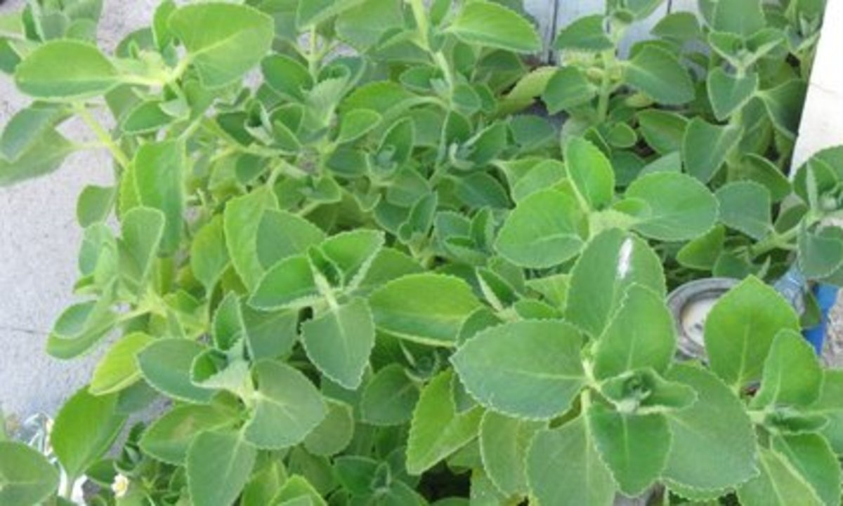 oregano-plant-and-oregano-uses