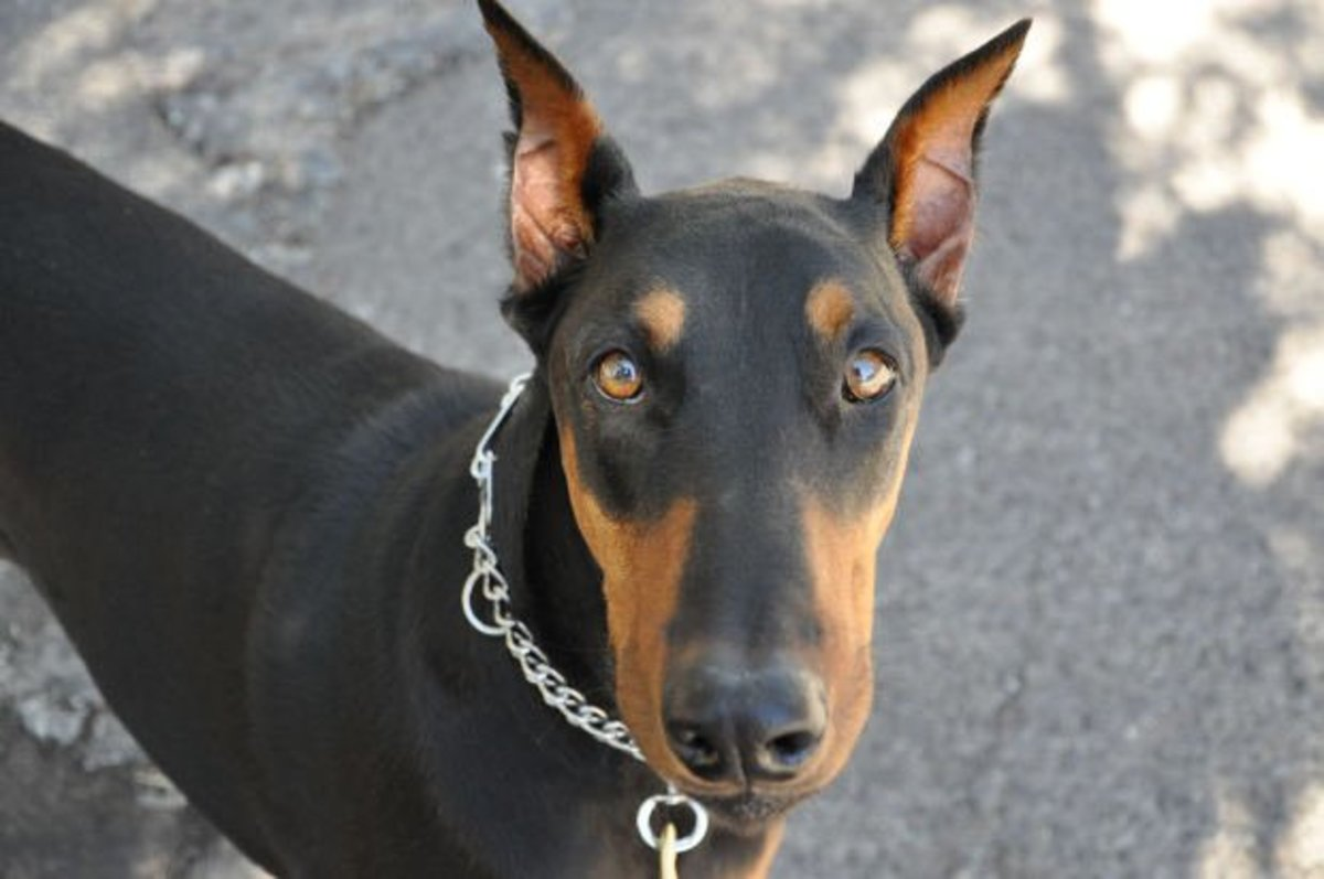 Mean Looking Doberman Pinscher