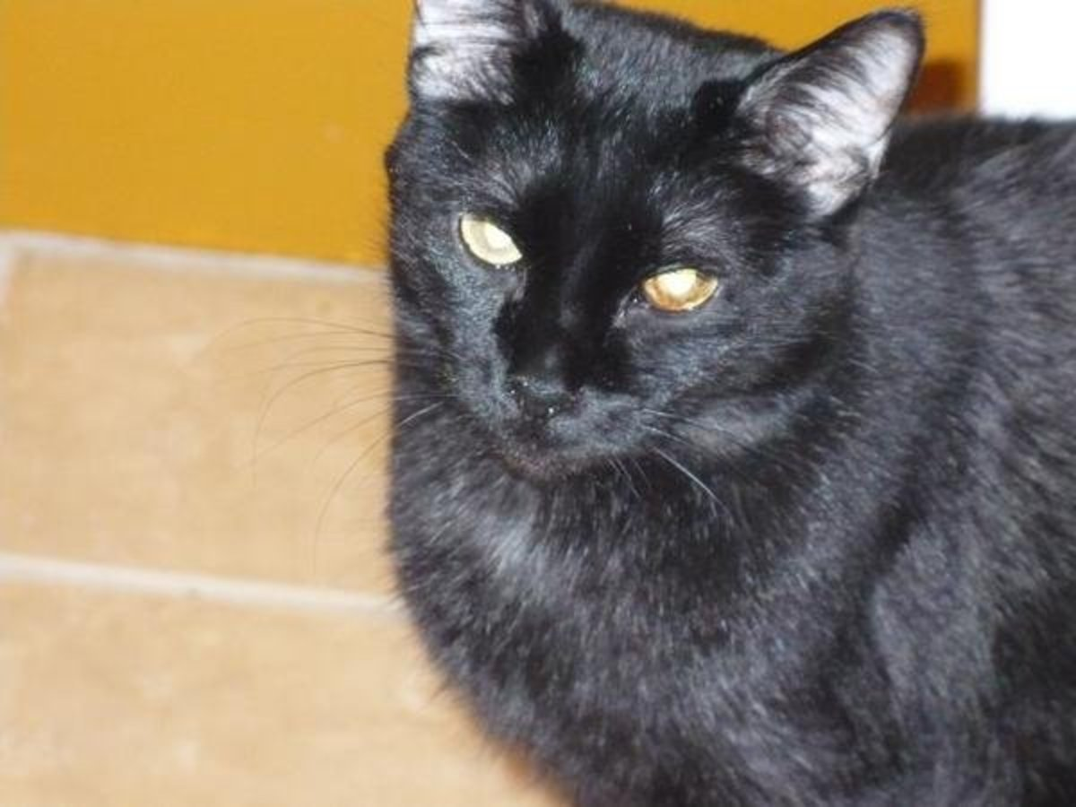 Spritz is a beautiful black cat with a shiny coat.  She's brought lots of good luck to her human companions.