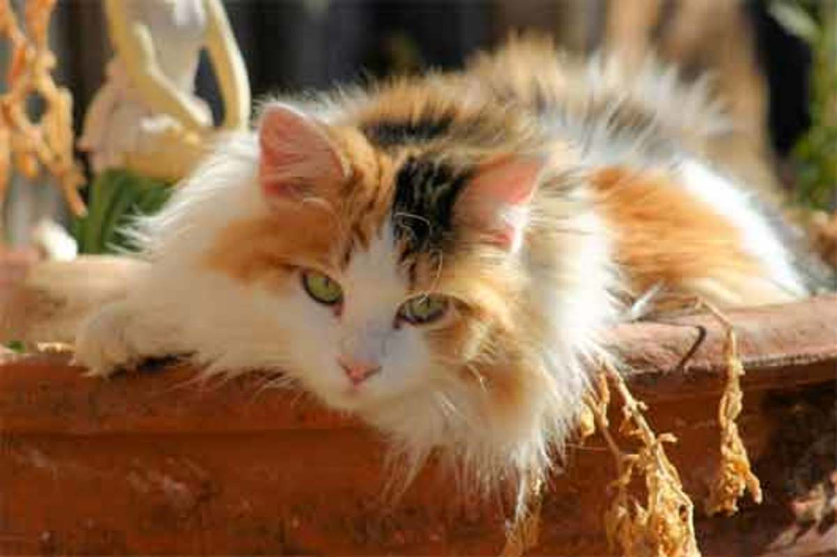 A beautiful long hair calico cat