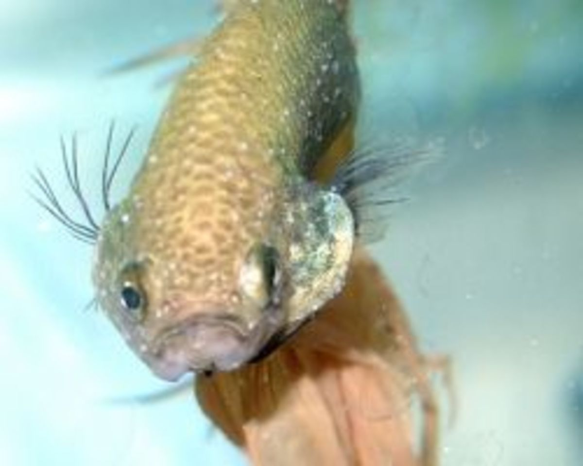 Betta addiction betta fish diseases hubpages for Fish disease ick