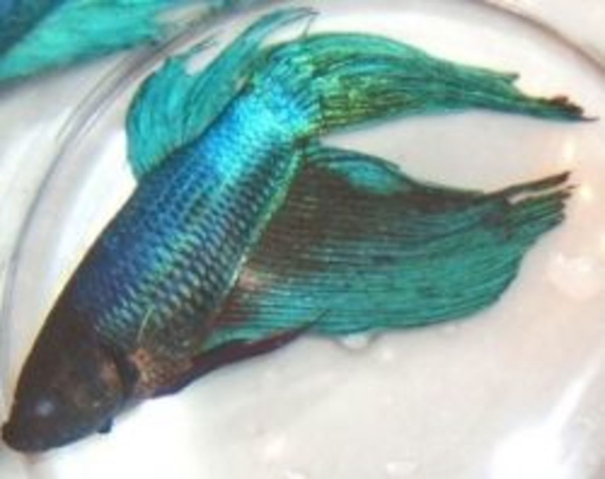 Betta Addiction - Betta Fish Diseases