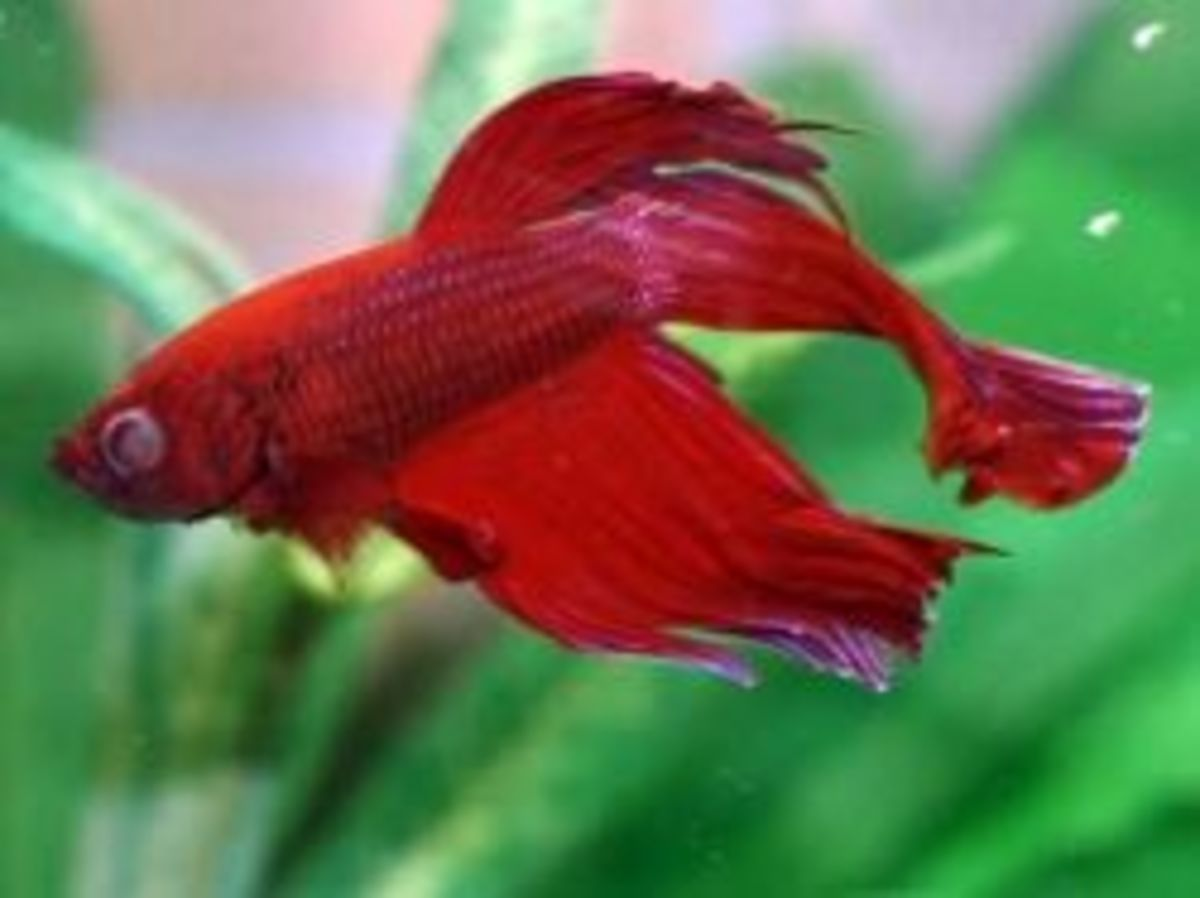 Betta addiction betta fish diseases hubpages for Fish pop eye