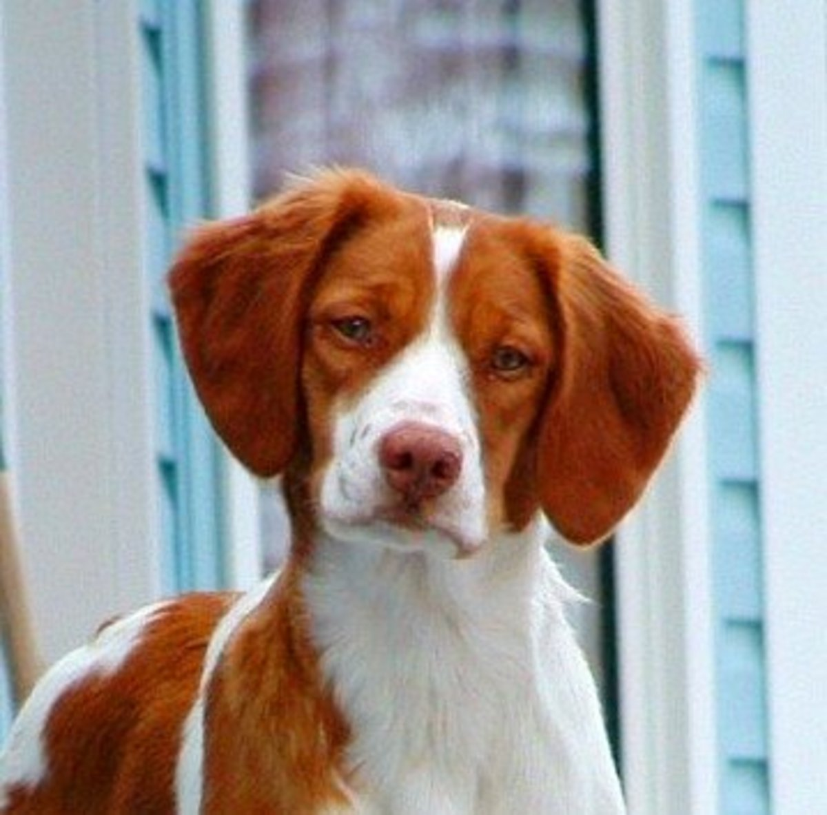 Brittany Dog Breed Facts and Information
