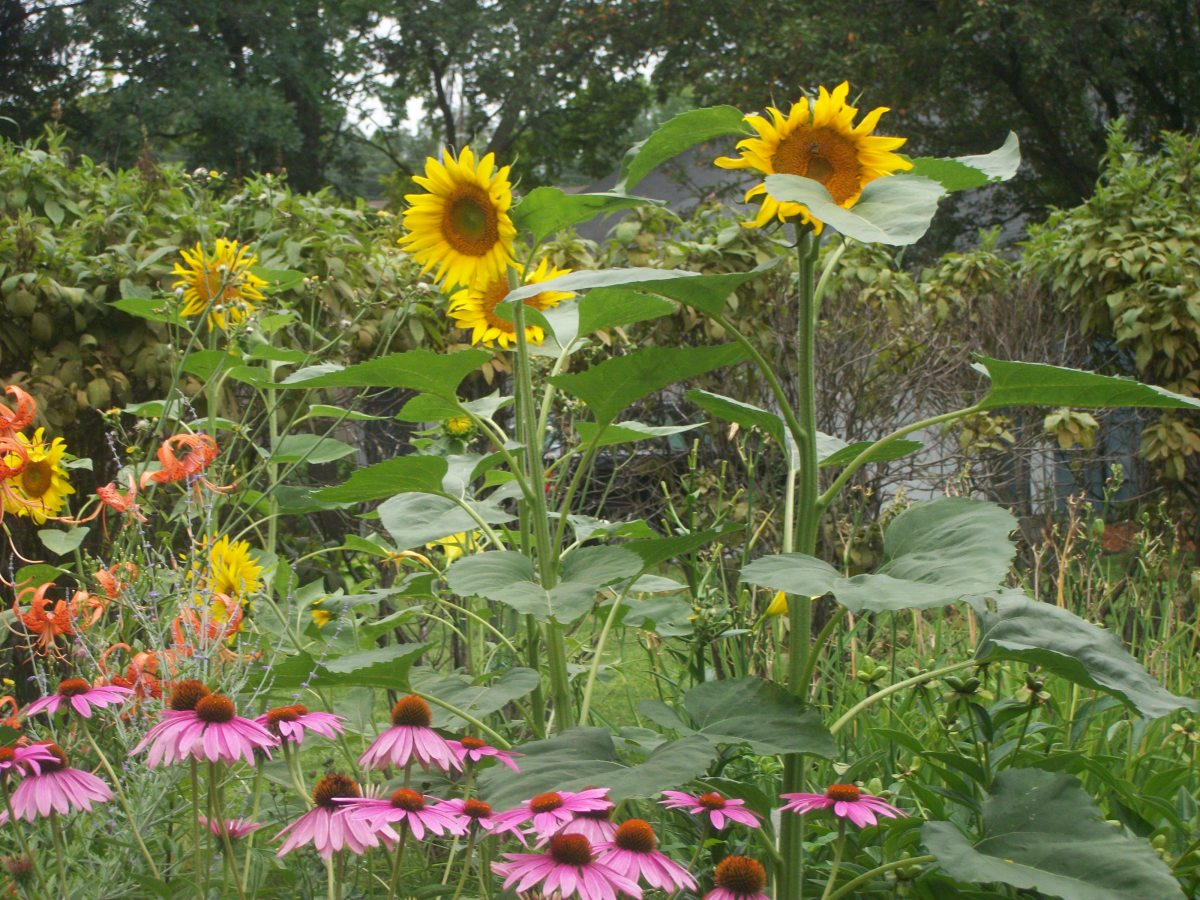 The Story of the Magical Sunflower Garden